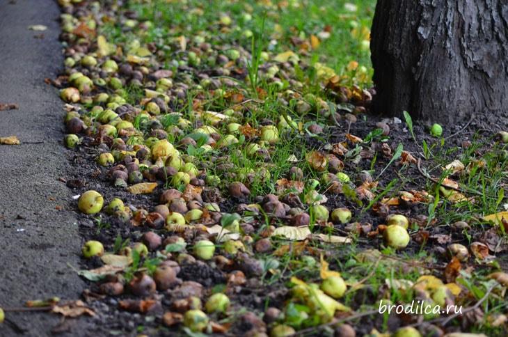 Яблочный дождь